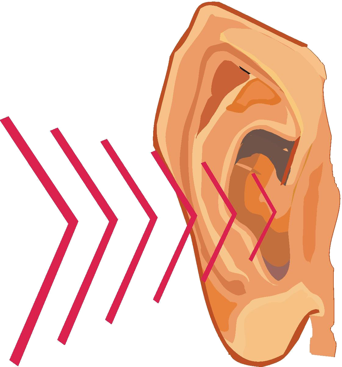 How the ear works (elementary)